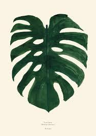 monstera poster illustration av monstera blad botanisk poster