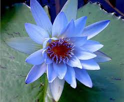 Blue Lotus Flower Meaning - 134 best floral images on pinterest flowers lotus flowers and