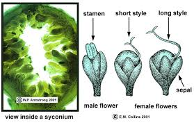 Fig Flower - inflorescence terminology part 2