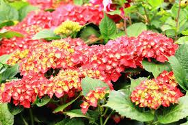red hydrangea diy