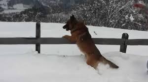 belgian shepherd virginia belgian shepherd malinois rex playing in the snow very funny