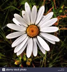 looking down on a single daisy flower stock photo royalty free