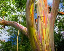 rainbow eucalyptus trees in hawaii most interesting trees in the