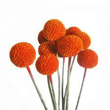 billy balls craspedia billy balls orange flower farm fresh exports