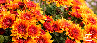 flowers of the month preserved flower of the month chrysanthemum verdissimo