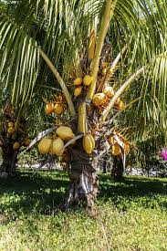fertilizer for coconut tree u2013 when and how to fertilize coconut