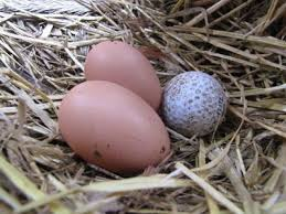 Best Laying Hens For Backyard 396 Best Chickens Images On Pinterest Backyard Chickens