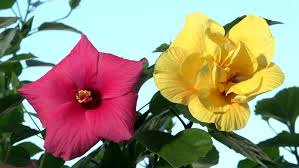 Yellow Hibiscus Flowers - time lapse yellow hibiscus blooming stock footage video 17498851