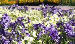 maryland wholesale flowers annuals perennials ornamental