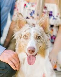 australian shepherd overprotective serious question zaye is very over protective when we walk she