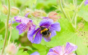 rising temperatures are squishing bumblebee habitats vice news
