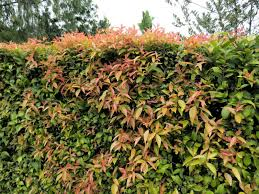 hedging plants budget wholesale nursery xylosma congestum is my favorite hedge material and i have a lot
