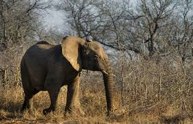 should u s zoos be allowed to import 18 african elephants
