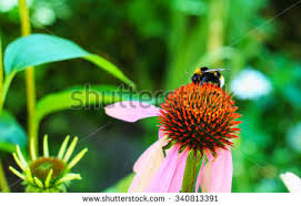 Echinacea Flower Echinacea Flower Stock Images Royalty Free Images U0026 Vectors