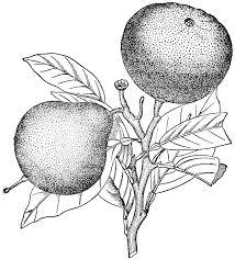 oranges clipart black and white bergamot orange clipart etc