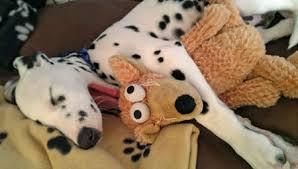digger dalmatian puppies daily puppy