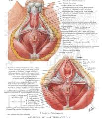 Male Anatomy Perineum Musculature External Sphincter And Levator Ani