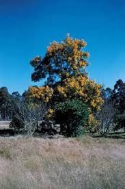 western australian christmas tree australia pinterest trees