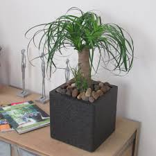 beautiful pony tail indoor palm tree house plant complete best