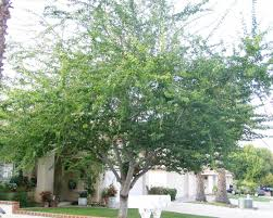 trees are also native plants san diego plant pictures