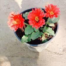 gerbera plant gerbera buy outdoor indoor flowering plants online lawnkart