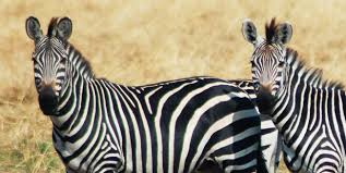 the man in the zebra suit knows the secret of the stripes wired