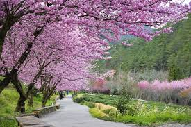 cherry blossoms in japan holidays sgholidays sg