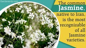 Fragrant Plants List A Stunning List Of Jasmine Plant Varieties