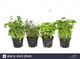selection of fresh living herbs coriander thyme basil and