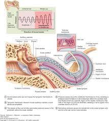 Anatomy And Physiology Ear The Eye U0026 Ear Special Sense Organs Junqueira U0027s Basic Histology