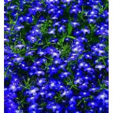 Moon Flowers The Dirty Gardener Lobelia Erinus Half Moon Flowers 5 000 Seeds