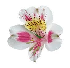 alstroemeria flower alstroemeria colors of 100 stems