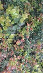 pnw native plants landscaping with salal unique landscape