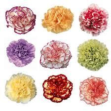 carnation flowers color novelty carnation flowers