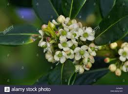 the tiny white flowers of ilex aquifolium blossom uk stock