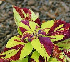 How To Grow Coleus Plants by How To Grow Coleus From Stem Cuttings Dengarden