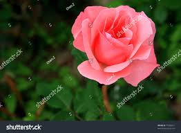 family garden chinese chinese rose garden stock photo 77585611 shutterstock