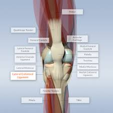 Tibiofibular Ligament Injury Lateral Collateral Ligament On Model Knee