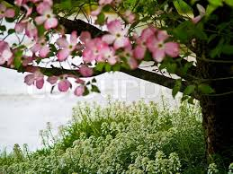 Trees With Pink Flowers Buy Stock Photos Of Flowering Trees Colourbox