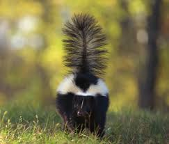 How Do You Get Rid Of Skunks In Your Backyard How To Keep Yourself And Your Dog Or Cat From Getting Skunked