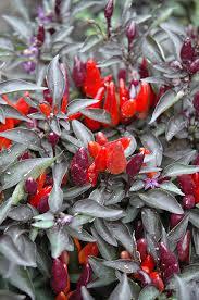 royal black ornamental pepper capsicum annuum royal black in