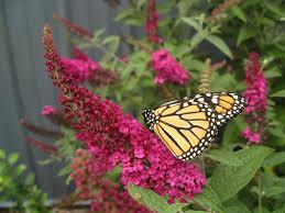 miss molly u0027 butterfly bush buddleia x proven winners