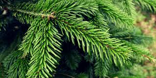 fir trees delivery dublin a complete service