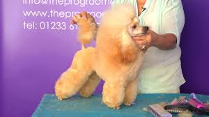 different toy poodle cuts pro groomer grooming guide taster toy poodle show youtube