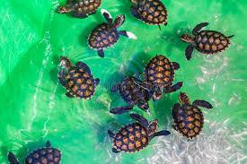 imagenes tortugas verdes tortugas verdes del bebé imagen de archivo imagen de animal 53602061