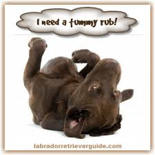 Chocolate Lab Meme - funny labrador dog memes view gallery of funny labrador memes
