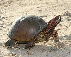 turtles of missouri missouri s heritage