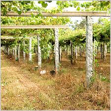 Trellis System Albariño Wine Facts Spanish Wine Country