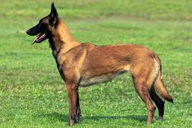 belgian shepherd rescue qld belgian malinois short haired fawn dog adogbreeds com