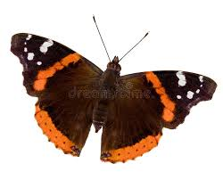 admiral butterfly stock image image of wing insect 16358001